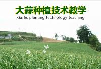 大蒜种植技术